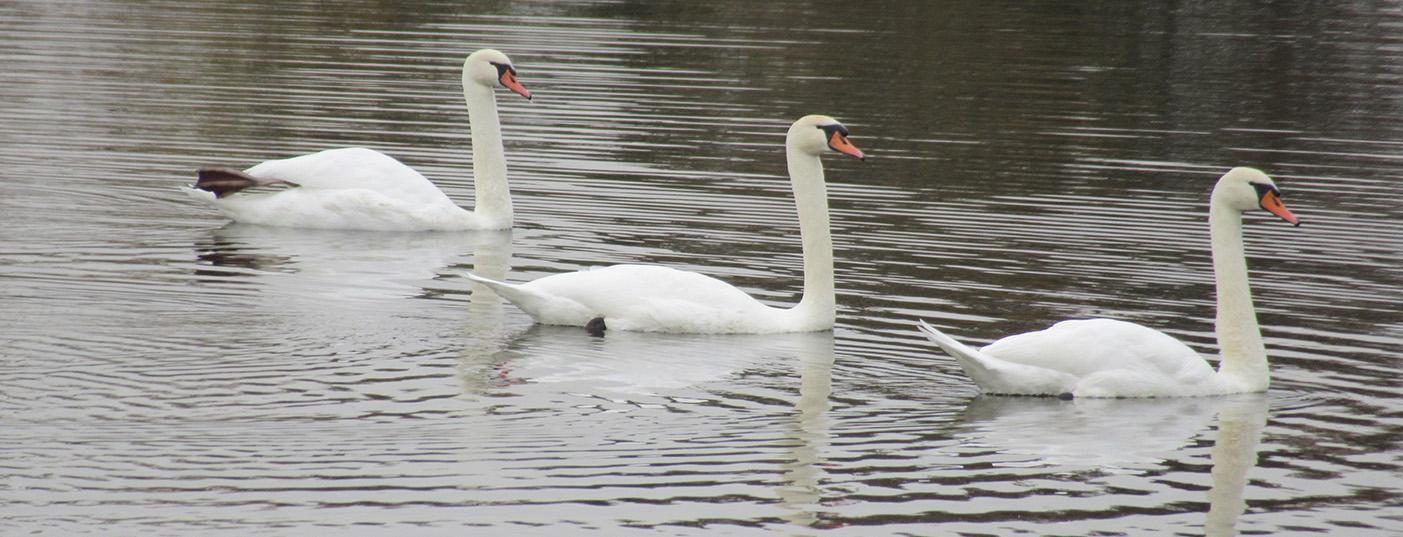 Mute Swans Visiting Big Bear Lake